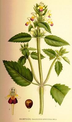 kenderkefű, nagyvirágú kenderkefű, kenderikefű, vadkender, tüdőbajos fűszer, szőrös kenderkefű, vetési kenderkefű