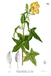 Abelmoschus moschatus