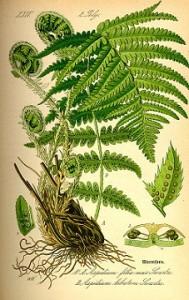 Aspidium filix mas; Filicis maris rhisoma, Nephrodium filix mas Rich.; Aspidium filix mas; Dryopteris filix mas