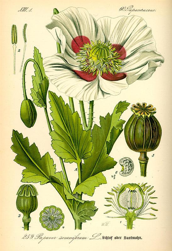 Papaver somniferum Linne, Papaver somniferum somniferum, Papaver somniferum ssp. Somniferum, Papaver somniferum ssp somniferum, Papaver somniferum subsp. somniferum