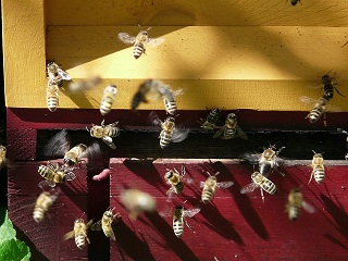 méz méhhel, méz előállítása, mire jó a méz