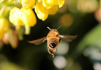 mézelő méh, méh gyűjtés közben