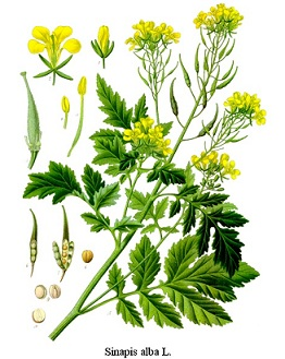 fehér mustár, angol mustár, kerti mustár, sárga mustár