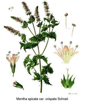 fodormenta, köményes menta, kerti menta, fodroslevelű menta, zöldmenta
