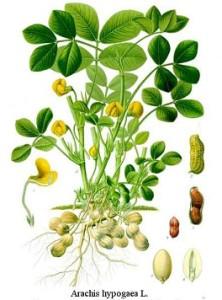Arachis hypogaea, Arachis hypogæa, Arachis hypogoea