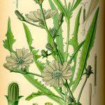 Kvíz - Melyik gyógynövényről lehet szó?