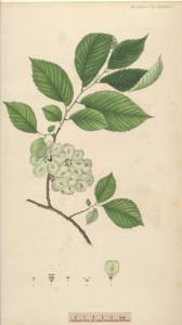 mezei szil,  kopasz szil, sima szil, szilfa, Ulmus carpinifolia Gled., Ulmus minor Miller, Ulmus campestris L.p.p., Ulmus foliacea Gilib.