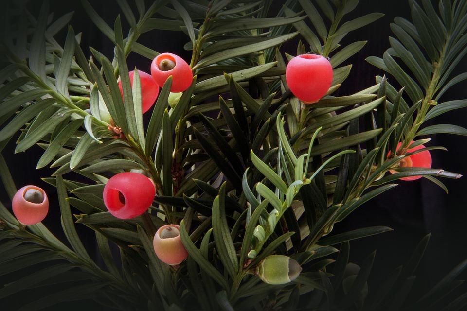 tiszafa, mérgező növény