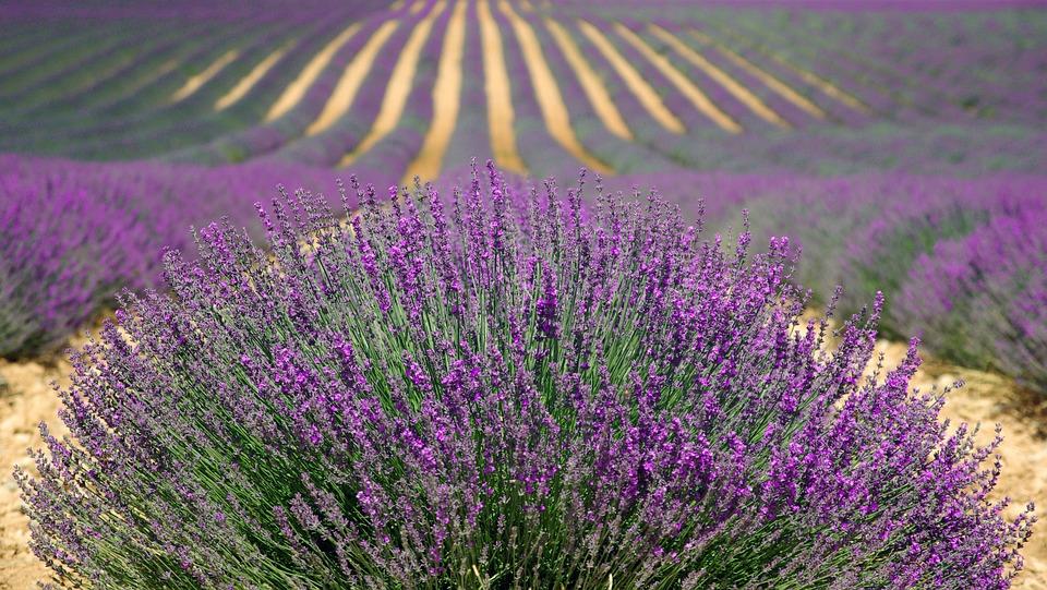 Új gyógynövény-termesztési pályázat indul