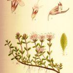 kakukkfu, akukkfű, Thymus vulgaris, vírusellenes fűszernövények