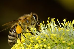 méh, virágpor,
