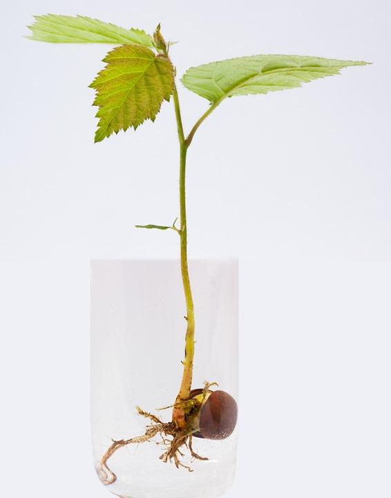 10 vízben gyökereztethető gyógynövény