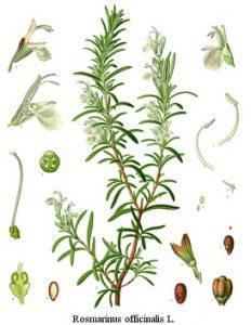 rozmaring, vírusellenes fűszernövények, gyógynövény termesztés