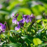 8 ehető növény a virágoskertből