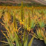 Aloe vera gyanta és az aloe vera gyógynövény gyógyhatása