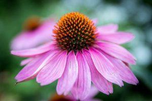 bíbor kasvirág, vírusellenes gyógynövények