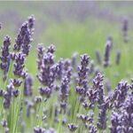 levendula, aromaterápia