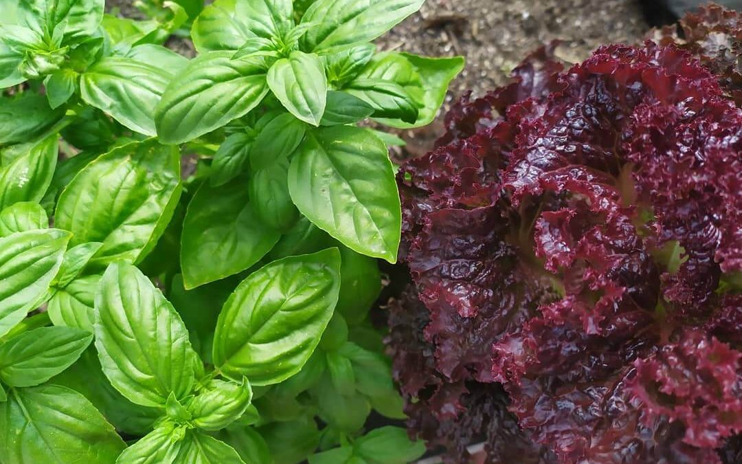 Bio kertészkedés egymást segítő növényekkel