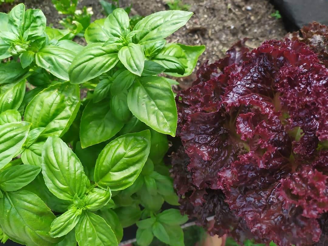 bio kertészkedés, egymást segítő növények
