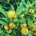 Emésztést segítő gyógynövények: citrom és mustár