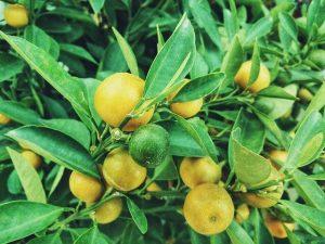 citrom, emésztést segítő, gyógyító kvíz