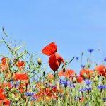 Talajtakaró virágok a biológiai sokszínűségért és a méhekért
