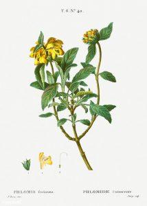 Phlomis fruticosa, jeruzsálemi zsálya
