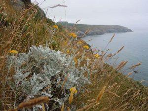 cinerária gyógynövény, tengerparti aggófű, hamvaska, csodaszem