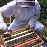 propolisz, méhek, méhészet, apiterápia, méz