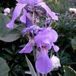 """Kék nőszirom gyógynövény, avagy a régiek """"ibolya gyökere"""""""