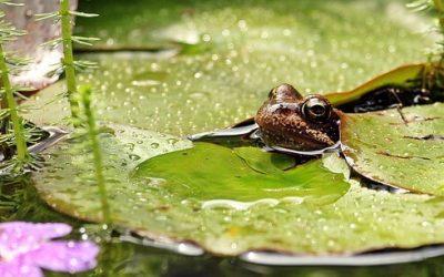 A kerti tavak helyi biodiverzitásra gyakorolt hatását vizsgálják