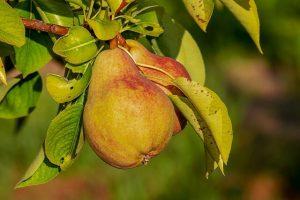 körte, gyümölcs