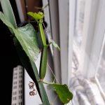 Arábia kincse, kúszóka, Cissus quadrangularis gyógynövény