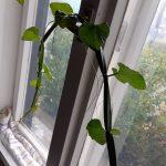 arábia kincse, kúszóka, Cissus quadrangularis, gyógynövény